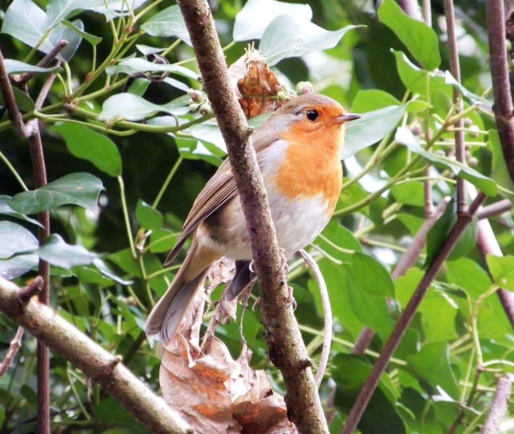 Robin by Lesley Cashell