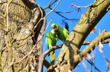 Houghton Hall Parakeets By Graham Trew