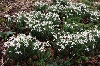 Carpet-of-Snowdrops-Cindy-Lee