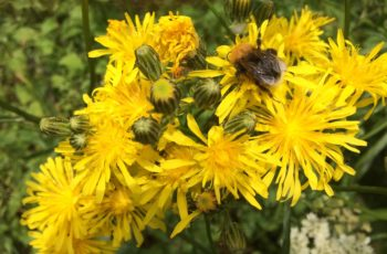 Cindy Lea Bee On Common Ragwort