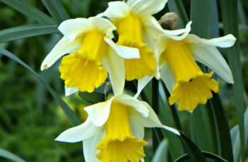 Daffodils In The Formal Garden By Rita Egan