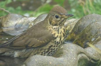 Mark Hogan - Song Thrush