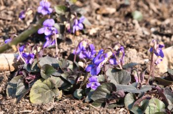 Pretty Little Violets By Helen Pocock