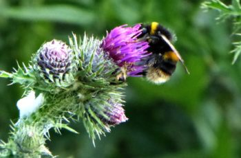 Rita Egan Thistle Bee