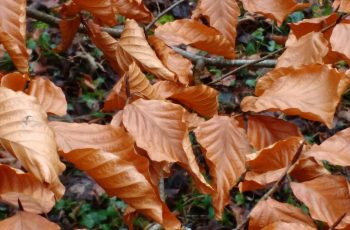 Sally Gray - Beech Leaves