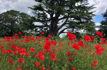 Sharon Pullan Poppies In The Park 2