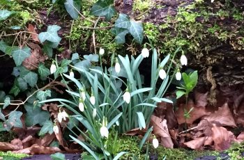 Snowdrops-Growing-by-a-log-Cindy-Lee