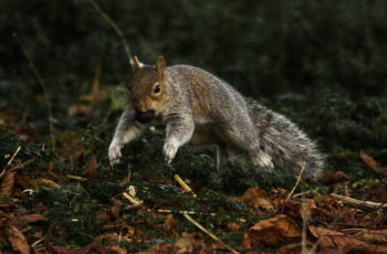 Squirrel In A Hurry By Bonny Haughey